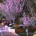 Festival Bunga Sakura Meriahkan Awal Musim Semi di Hanoi
