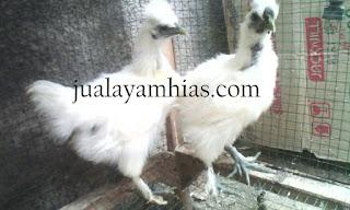 Ayam Kapas Usia 3 Bulan