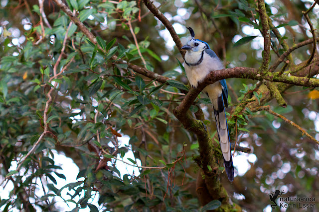 White-throated Magpie-jay - Calocitta formosa