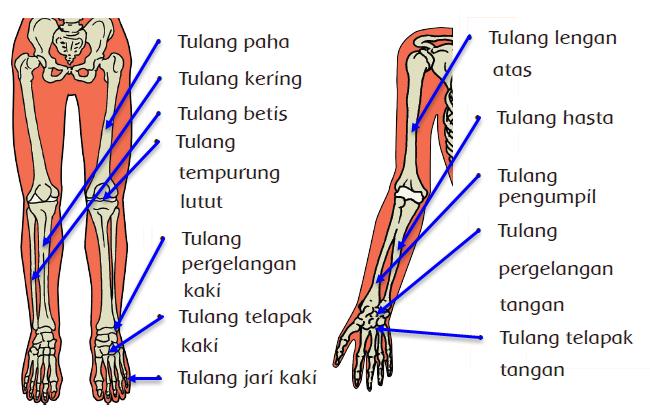 Organ gerak pada hewan dan manusia memiliki kesamaan Menjelaskan Alat Gerak dan Fungsinya Pada Manusia