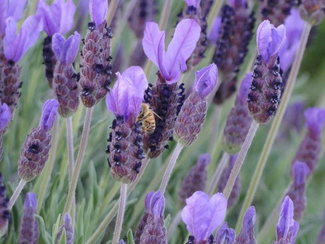 Lavender Thunder Bay