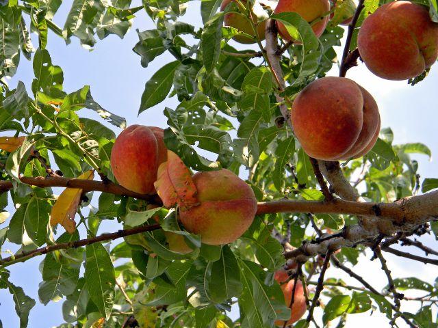 owoce, niebo, gałęzie, sad