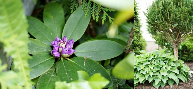 Collage von Rhododendron, Thuja und Funkie {by it's me! }