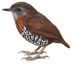 Spelaeornis badeigularis