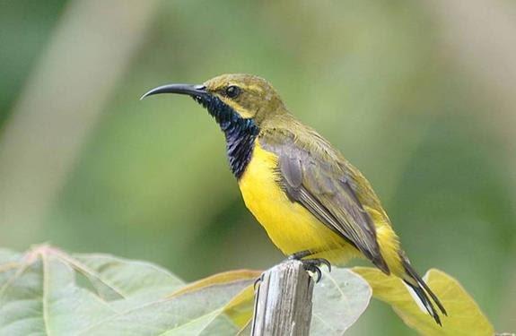 Download Mp3 Suara Burung Sogok Ontong Gacor Gemar Ternak Dan