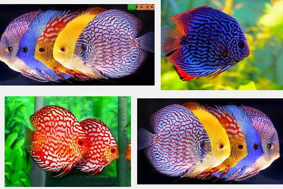 Ini Dia Tips Termudah Budidaya Ikan Discus yang Cantik dan Menarik