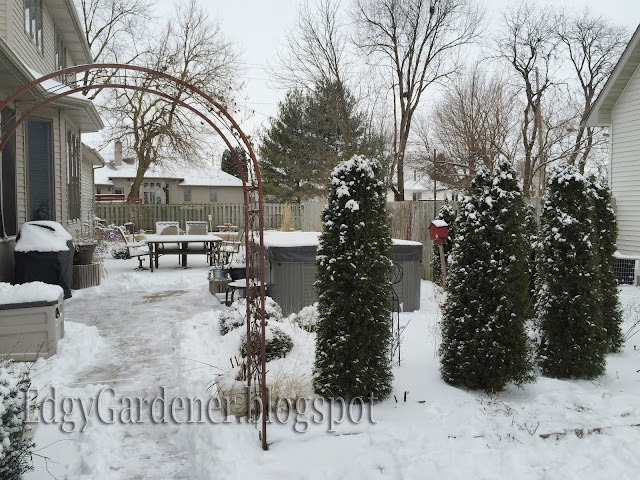 Arborvitaes and Mr Bowling Balls covered in snow @ edgygardener.blogspot.com