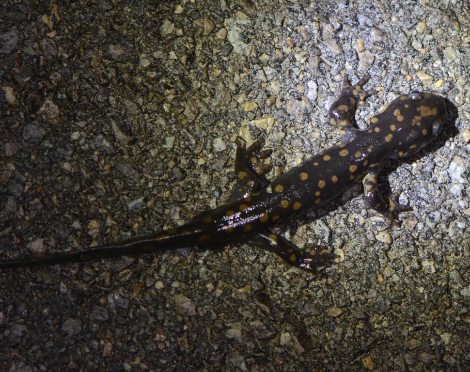 Ohio Birds and Biodiversity Tiger salamanders Take II