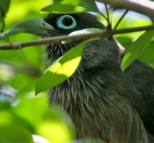 Birds of India - Photo of Blue-faced malkoha - Phaenicophaeus viridirostris
