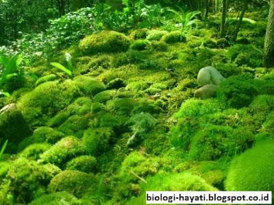 Pengertian, Ciri-Ciri dan Siklus Hidup Lumut (Bryophyta)
