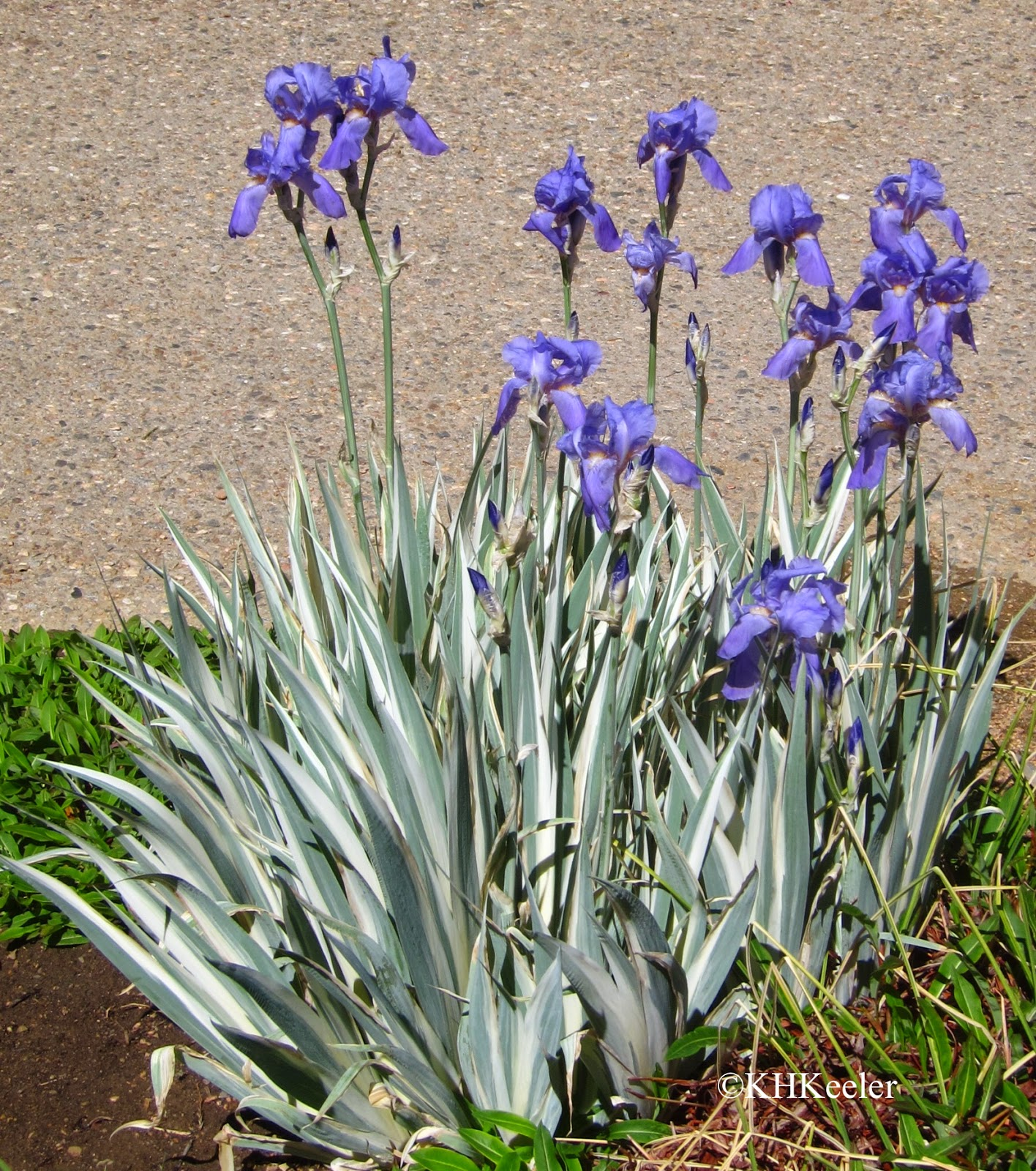 A Wandering Botanist: Plant Story -- Iris, All The Colors