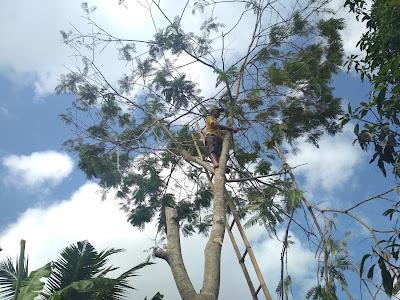 Cara Menebang Pohon Yang Benar dan Aman