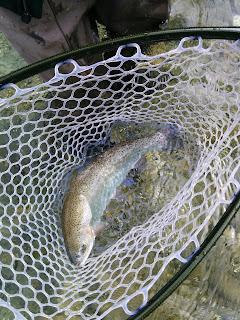 Rainbow trout Slovenia Idrijca River