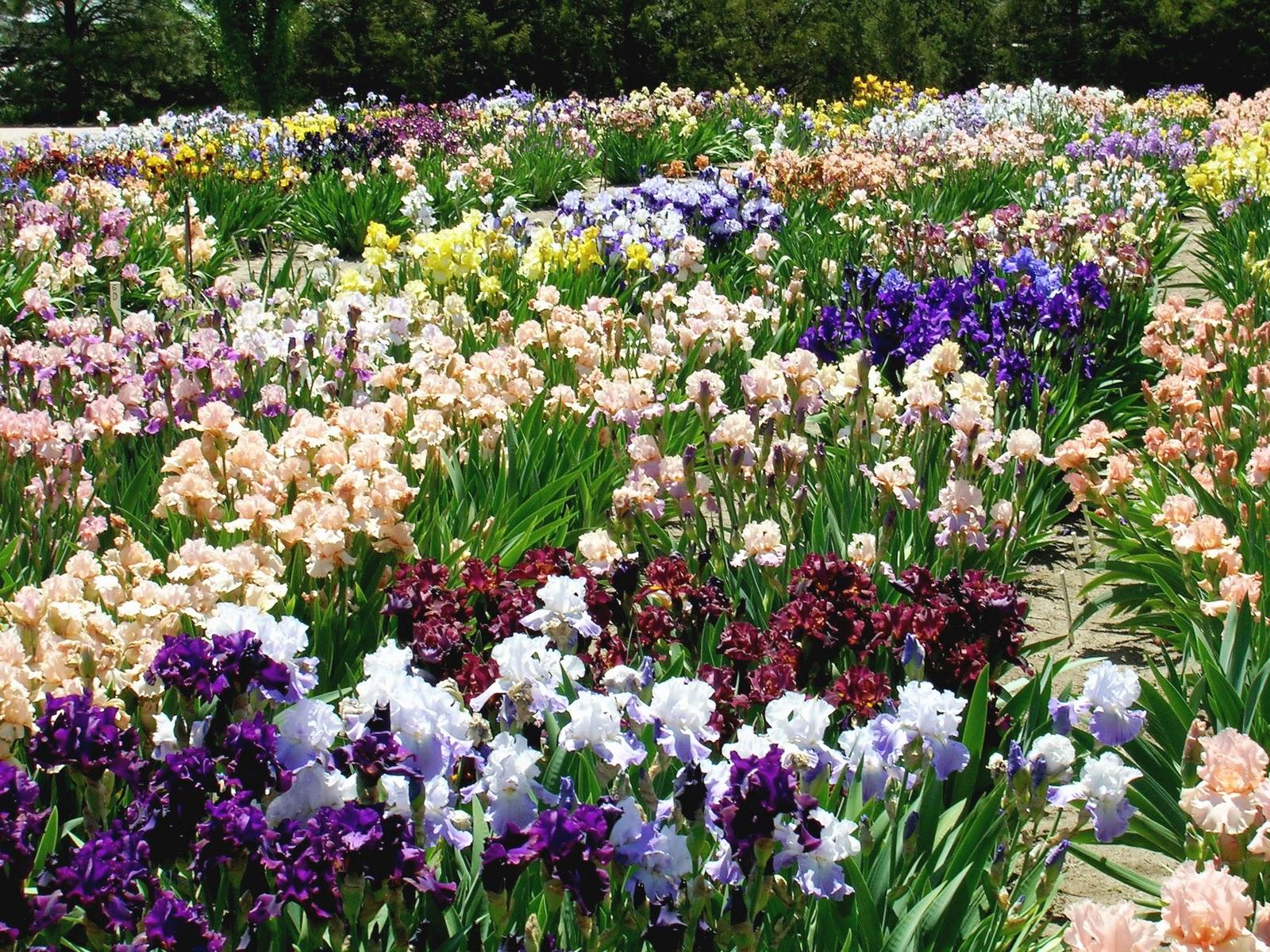 Elegant Blue Jay Iris Gardens    Jedick Image