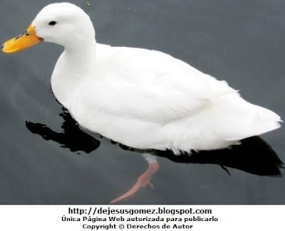 Foto de un pato en el agua de día. Foto de pato de Jesus Gómez