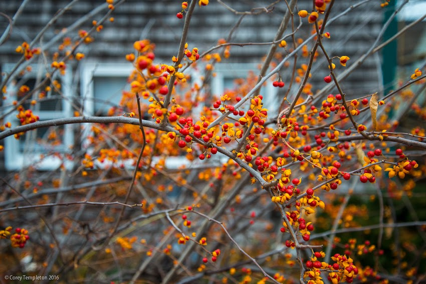 Portalnd, Maine USA November 2016 photo by Corey Templeton. A bit of color on an otherwise grey day on Munjoy Hill. Winter berries on a shrub.