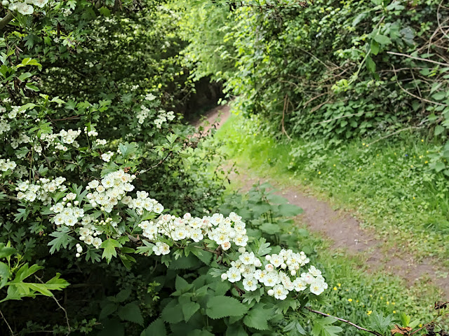 Low flower laden branch of hawthorn besides small muddy path