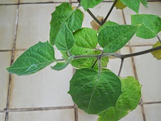 hojas de la planta alquejenque