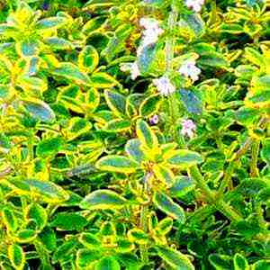 Plants That Repel Mosquitoes - Lemon Thyme