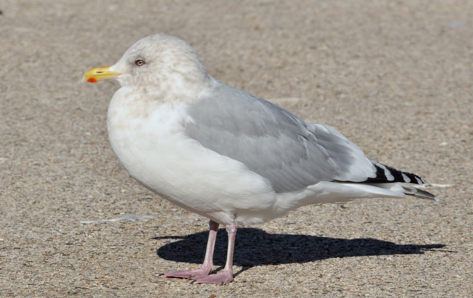 Thayer's Gull in Denmark, surfbirds.com |Thayers Gull