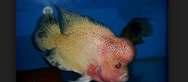 Jenis Dan Harga Ikan Louhan Saat Ini