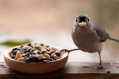 Cultivar Alimento para Aves