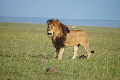 The Masai Mara loses one of its legendary lions
