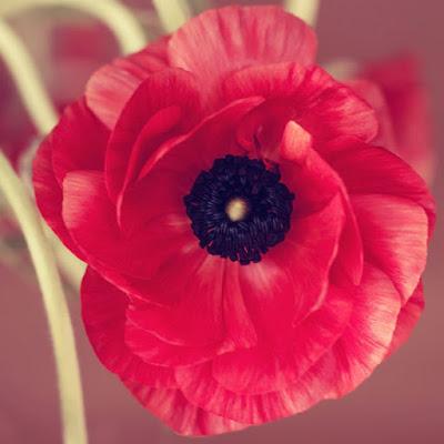 Η παπαρούνα είναι ένα πανέμορφο μα και ντελικάτο άνθος. Ανοίγει τα πέταλά  της για μία μόνο μέρα και την επόμενη αρχίζει να φυλλορροεί. 555b74c5a69