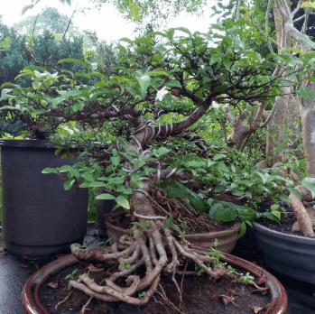 Perawatan Anting Putri Supaya Menjadi Bonsai