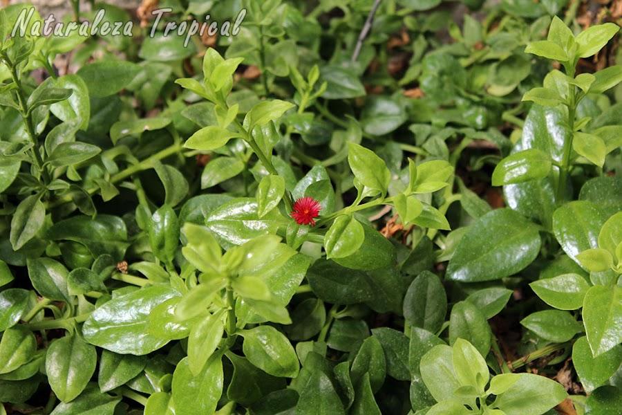 Planta suculenta conocida popularmente como Rocío o Escarcha, Aptenia cordifolia