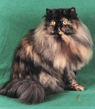 KUCING: Jenis Warna Kucing