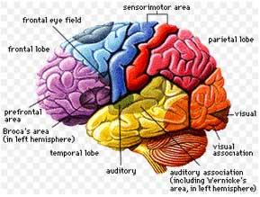 otak manusia, kini menjadi objek menarik dalam bidang neurosains, suatu cabang ilmu baru yang mempelajari bagaimana otak bekerja saat seseorang belajar