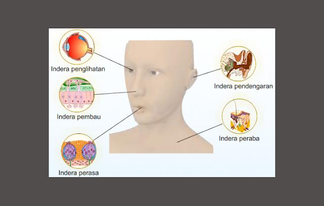 Sistem Panca Indera Pada Manusia