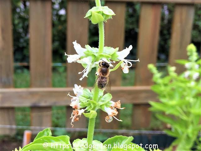 Biene auf dem Basilikum