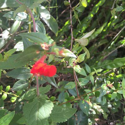 Parque Natural Amboró. Samaipata. Bolivia. Sangre de Cristo flor