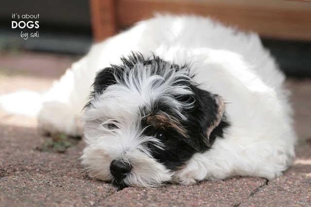 Biewer Yorkshire Terrier Lotta 12 Wochen alt