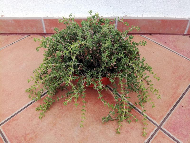 Foro della pianta delosperma
