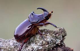 Hama Kumbang Tanduk Sawit