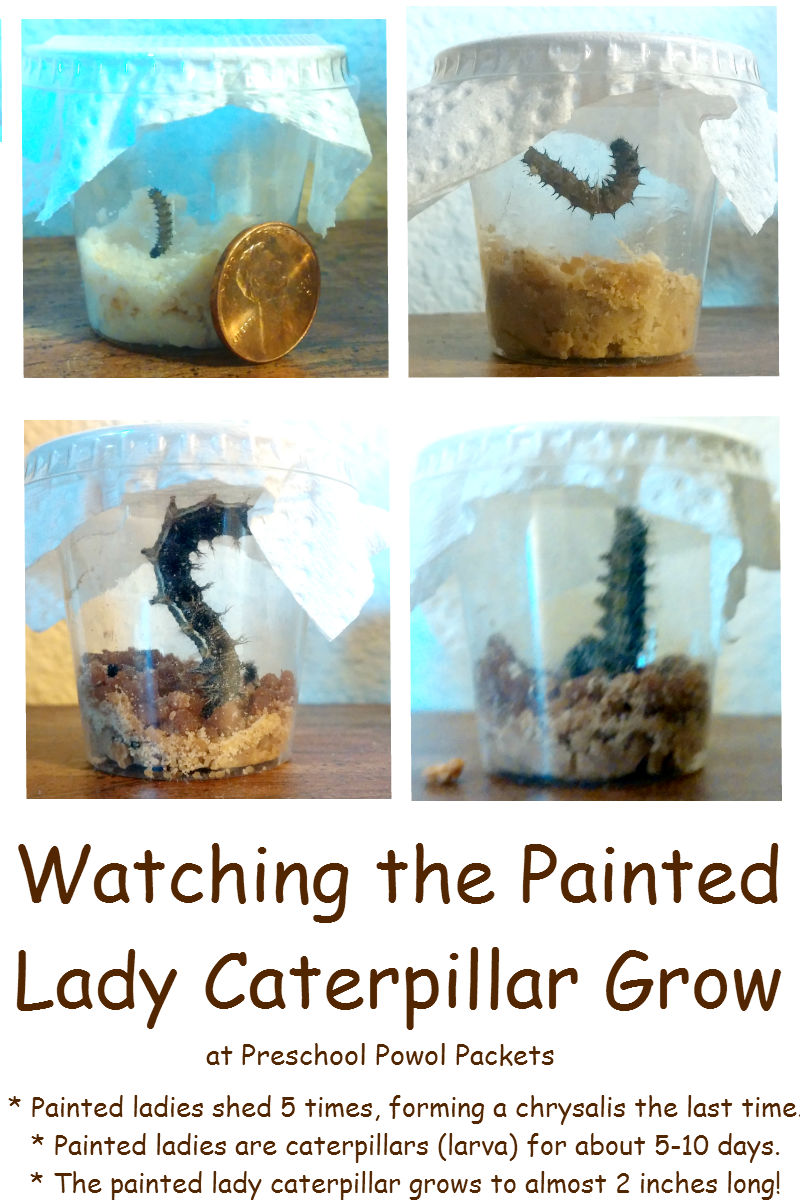 Can Painted Lady Butterflies Molt