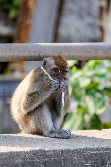 monyet pulo manuk sawarna