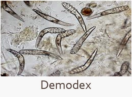 Parasit Demodex
