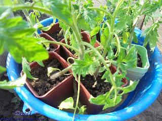 как посадить помидоры