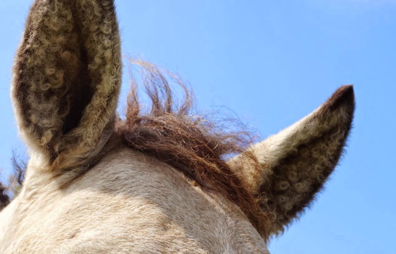 curly horse nrw