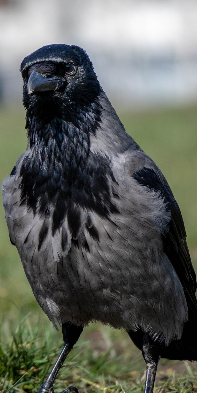 A bird with black and grey plumage.