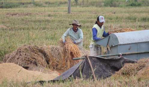 pertanian di majalengka terserang hama wereng