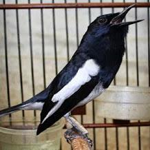 Jenis dan Cara Perawatan Burung Kacer Juara