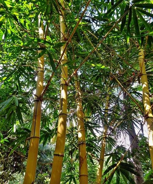 Bienfaits du bambou  arthrose, ostéoporose, cheveux...