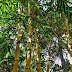 Bienfaits du bambou : arthrose, ostéoporose, cheveux...