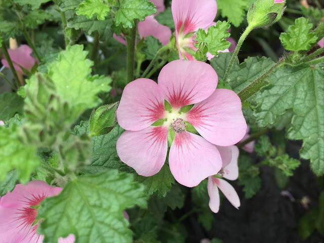 lila farbene Sommerblüten