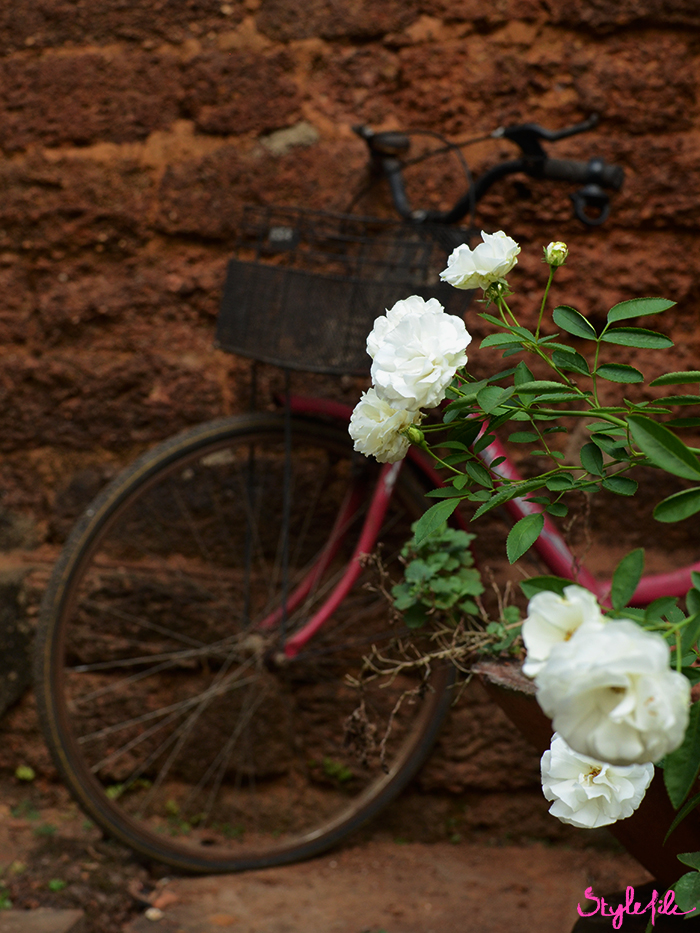 An image of a bicycle with a basket against a brick wall with white flowers on a summer holiday break in Goa, India